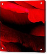 Rose Red Acrylic Print