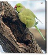 Rose-ringed Parakeet 03 Acrylic Print
