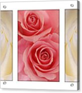 Rose Series  Acrylic Print
