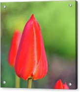Rose Sheen Acrylic Print