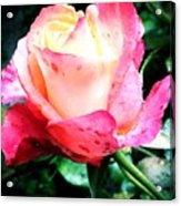 Rose Solitude  Acrylic Print