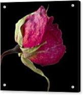 Rose Still Life Acrylic Print by Robert Ullmann