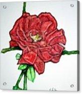 Rose Study No 1 Acrylic Print