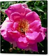Rose To Bee Acrylic Print
