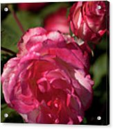 Rose To The Occasion Acrylic Print