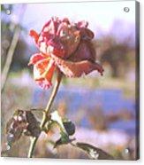 Rose. Acrylic Print