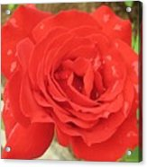 Rose With Dew Acrylic Print