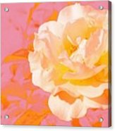 Rose With Pink Background Acrylic Print