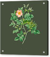 Rose102 Acrylic Print