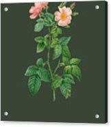 Rose105 Acrylic Print