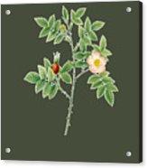 Rose107 Acrylic Print