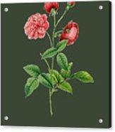 Rose113 Acrylic Print