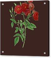 Rose115 Acrylic Print