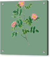 Rose123 Acrylic Print