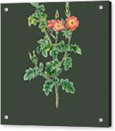 Rose124 Acrylic Print