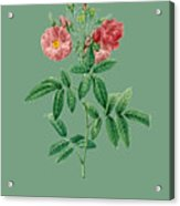 Rose127 Acrylic Print