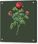 Rose134 Acrylic Print