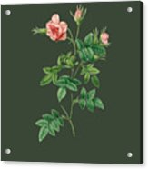 Rose136 Acrylic Print