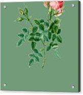 Rose138 Acrylic Print