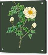 Rose142 Acrylic Print