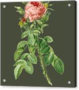 Rose144 Acrylic Print
