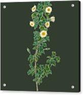 Rose157 Acrylic Print