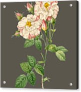 Rose59 Acrylic Print