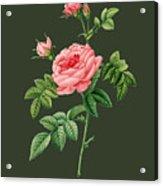 Rose61 Acrylic Print