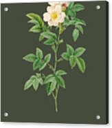Rose62 Acrylic Print