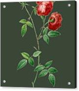 Rose65 Acrylic Print