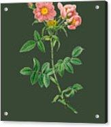 Rose73 Acrylic Print