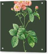 Rose76 Acrylic Print