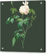 Rose80 Acrylic Print