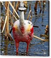 Roseate Spoonbill And Water Drops Acrylic Print