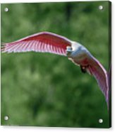 Roseate Spoonbill In Flight 2 Acrylic Print