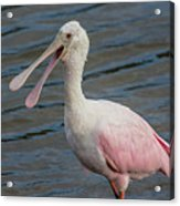 Roseate Spoonbill With Something To Say Acrylic Print
