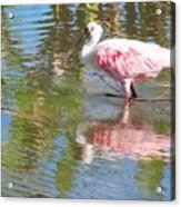 Roseate Spoonbill Young Adult Acrylic Print