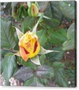 Rosebud #2 Acrylic Print