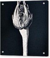 Rosebud Acrylic Print by Diane Cutter
