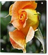 Rosebud Opening Acrylic Print