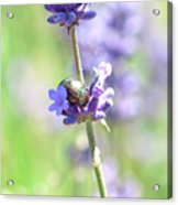Rosemary And Lavender Acrylic Print