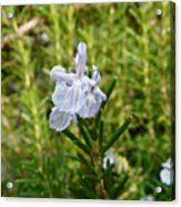 Rosemary Bloom Acrylic Print