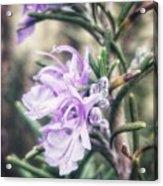 Rosemary Blooming Acrylic Print