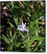 Rosemary Flower Acrylic Print
