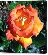 Roses 1 Acrylic Print
