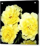 Roses 11 Acrylic Print