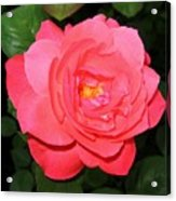 Roses 12 Acrylic Print