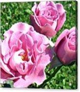Roses 6 Acrylic Print