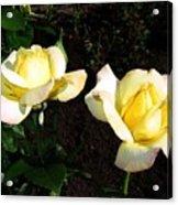Roses 8 Acrylic Print