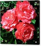 Roses 9 Acrylic Print
